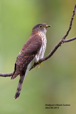 Juvenile Hodgson's Hawk-Cuckoo at Bidadari. Photo Credit: Alan Ng