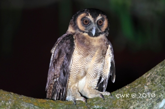 Brown Wood Owl at Bukit Batok Nature Park. Photo credit: Jonathan Cheah