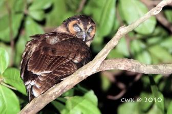 Brown Wood Owl at Bukit Batok Nature Park. Photo credit: Jonathan Cheah