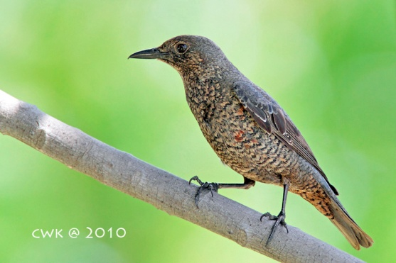 Subadult male Blue Rock Thrush at Sentosa. Photo Credit: Jonathan Cheah