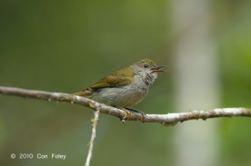 Female Plain Sunbird at Panti Forest. Photo Credit: Con Foley