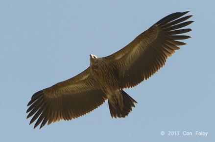Juvenile Himalayan Vulture at Nainital, India. Photo Credit: Con Foley