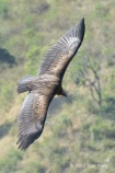 Juvenile Himalayan Vulture at Nainital, India. Photo Credit: Con Foley