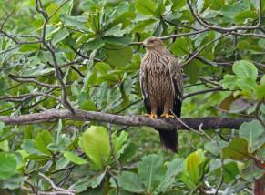 Juvenile Eastern Imperial Eagle at Pulau Sekudu off Chek Jawa, Pulau Ubin. Photo Credit: Frankie Cheong
