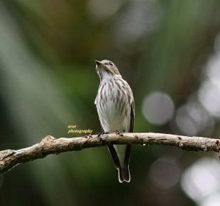 Grey-streaked Flycatcher at Pasir Ris Park. Photo credit: Aldwin Recinto.