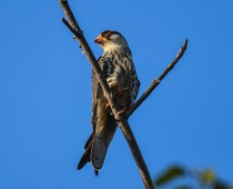 Female Amur Falcon at Seletar Dam. Photo credit: Yip Peng Sun