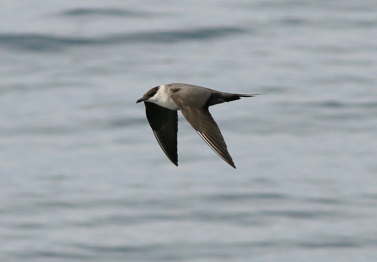Long Tailed Jaeger Singapore Birds Project