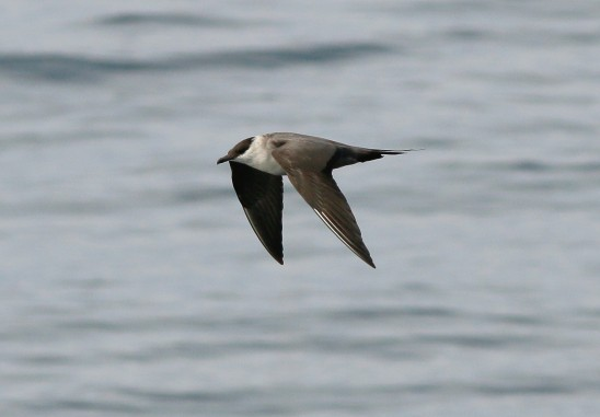Long-tailed Jaeger at sea off the coast of Tanjung Dawai, Kedah, Malaysia . Photo Credit: Neoh Hor Kee