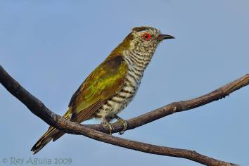 Male Little Bronze Cuckoo. Photo Credit: Rey Aguila