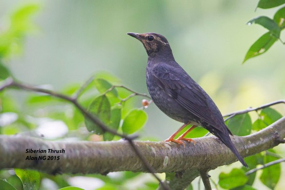 Subadult Male Siberian Thrush at Dairy Farm Nature Park. Photo credit: Alan Ng