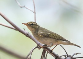 Arctic Warbler at Tuas. Photo credit: See Toh Yew Wai