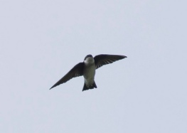 Asian House Martin at Gunong Raya, Langkawi. Photo Credit: See Toh Yew Wai