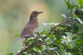 Female Siberian Thrush at Dairy Farm Nature Park. Photo credit: Alan Ng