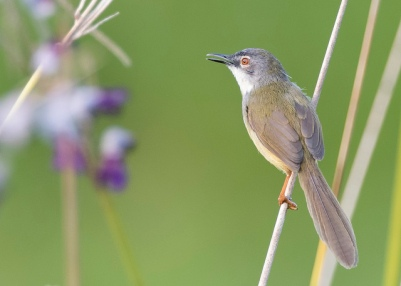 Yellow-bellied Prinia at Jurong Eco Garden. Photo Credit: See Toh Yew Wai
