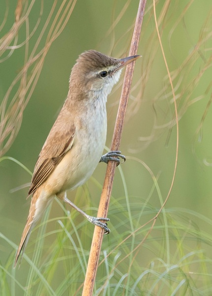 Oriental Reed Warbler from Sengkang Riverside Park. Photo Credit: See Toh Yew Wai