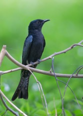 Square-tailed Drongo-Cuckoo at Bidadari. Photo Credit: See Toh Yew Wai