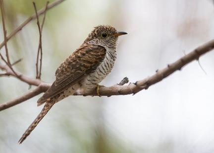 Juvenile Rusty-breasted Cuckoo at Tuas South. Photo Credit: See Toh Yew Wai