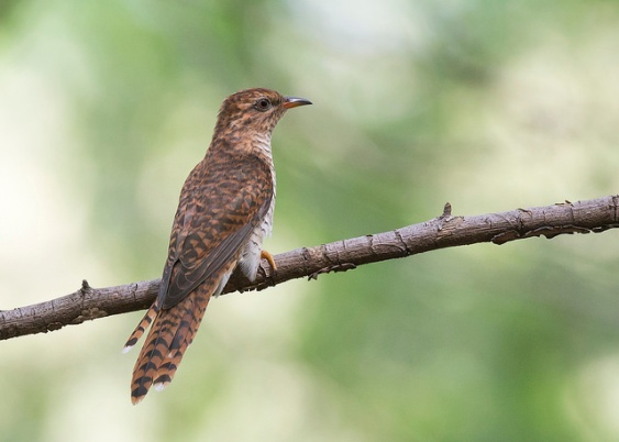 Juvenile Plaintive Cuckoo at Tuas South. Photo Credit: See Toh Yew Wai