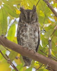 Greyish morph Oriental Scops Owl at Dairy Farm Nature Park. Photo credit: See Toh Yew Wai