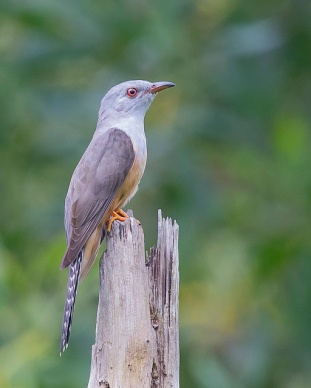 Adult Plaintive Cuckoo at Pasir Ris Park. Photo Credit: See Toh Yew Wai