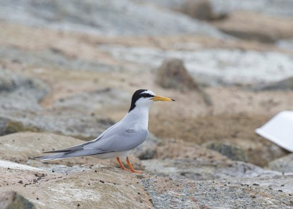 Breeding plumage Little Tern at Marina East Drive. Photo Credit: See Toh Yew Wai