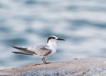 Non-breeding plumage Little Tern at Marina East Drive. Photo Credit: See Toh Yew Wai