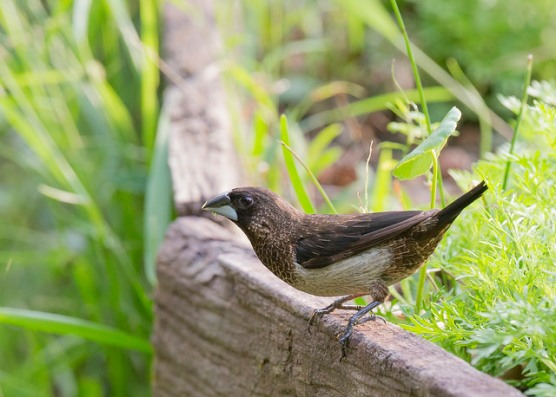 White-rumped Munia at Chinese Garden. Photo credits: See Toh Yew Wai