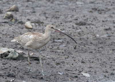 Eurasian Curlew at SBWR. Photo credit: See Toh Yew Wai