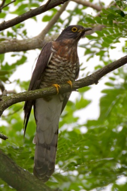 Adult Large Hawk-Cuckoo at Bidadari. Photo Credit: Alan Ng