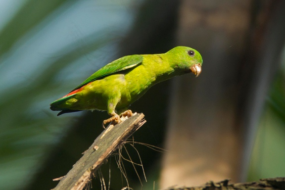 Juvenile Blue-crowned Hanging Parrot at Malcolm Park. Photo Credit: Alan Ng