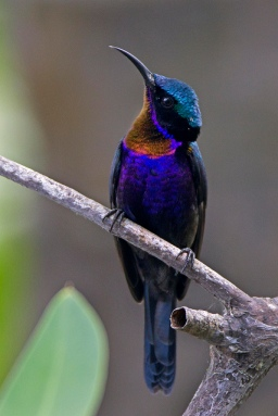 Male Copper-throated Sunbird at Sungei Buloh Wetland Reserve. Photo Credit: Alan Ng