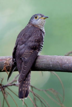 Male Indian Cuckoo @ Bidadari. Photo Credit: Alan Ng