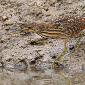 Juvenile Cinnamon Bittern at Pasir Ris Farmway 3. Photo credit: Alan Ng