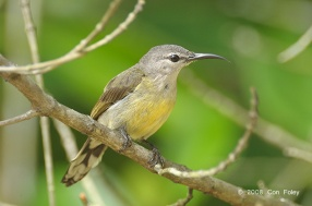 Female Copper-throated Sunbird at Pulau Ubin. Photo Credit: Con Foley
