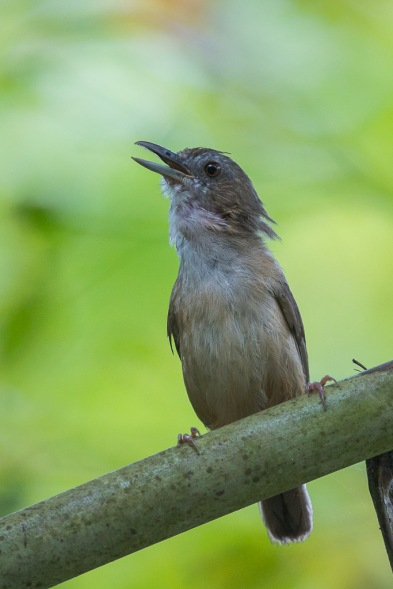 Abbott's Babbler at Pulau Ubin. Photo Credit: Francis Yap