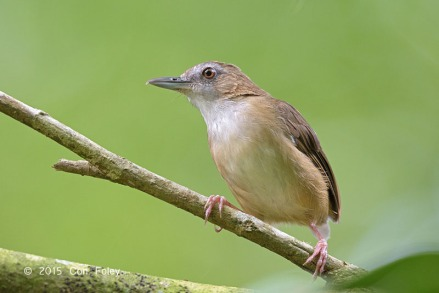 Abbott's Babbler at Venus Drive. Photo Credit: Con Foley
