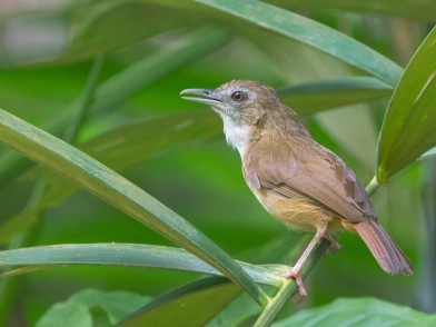 Abbott's Babbler at Venus Drive. Photo credit: Francis Yap