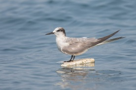 Non-breeding Aleutian Tern at Singapore Strait. Photo credit: Francis Yap