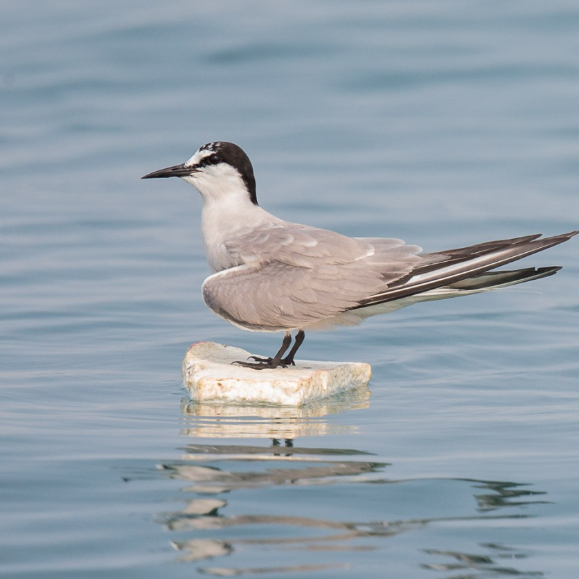 Aleutian Tern in breeding plumage at Singapore Strait. Photo credit: Francis Yap