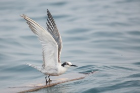 Non-breeding Aleutian Tern at Singapore Strait. Photo credit: Francis Yap