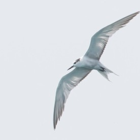 Non-breeding Aleutian Tern at Singapore Strait. Photo credit: See Toh Yew Wai
