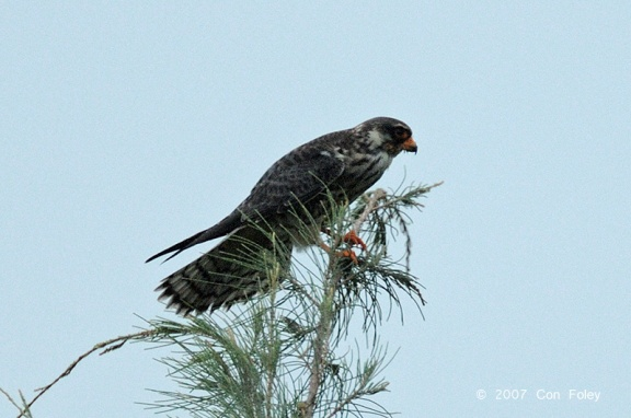 Female Amur Falcon at Changi Reclaimed Land. Photo credit: Con Foley