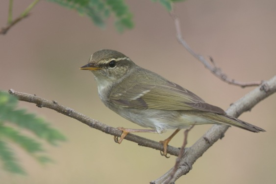 Arctic Warbler at Tuas. Photo credit: Francis Yap