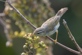 Arctic Warbler at Jelutong Tower. Photo credit: Francis Yap