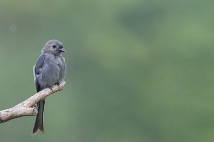 Ashy Drongo at Mount Faber. Photo credit: Francis Yap