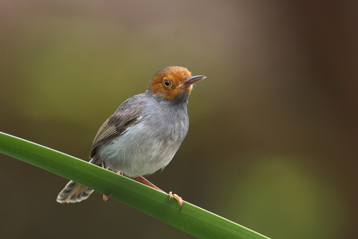 Ashy tailorbird singapore birds project for Birds project