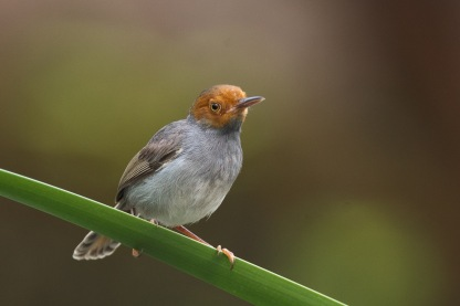 Ashy Tailorbird at Chinese Garden. Photo credit: Francis Yap