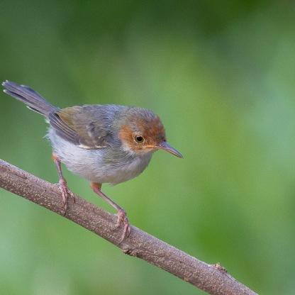 Ashy Tailorbird at Lorong Halus. Photo credit: Francis Yap