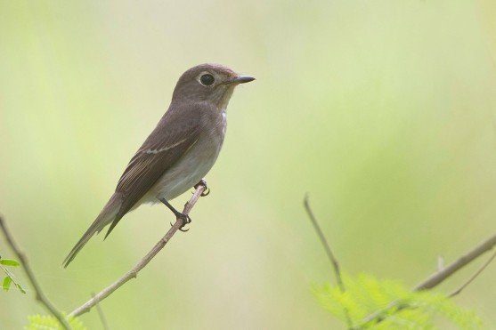 Asian Brown Flycatcher at Punggol. Photo Credit: Alan Ng