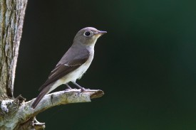 Asian Brown Flycatcher at Bidadari. Photo Credit: Alan Ng